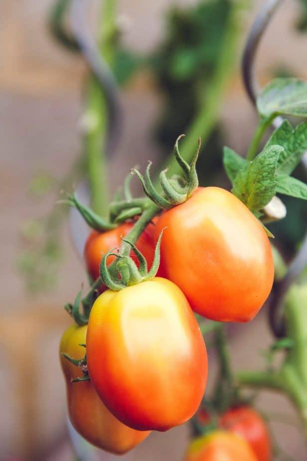 Russian big Roma Tomatoes