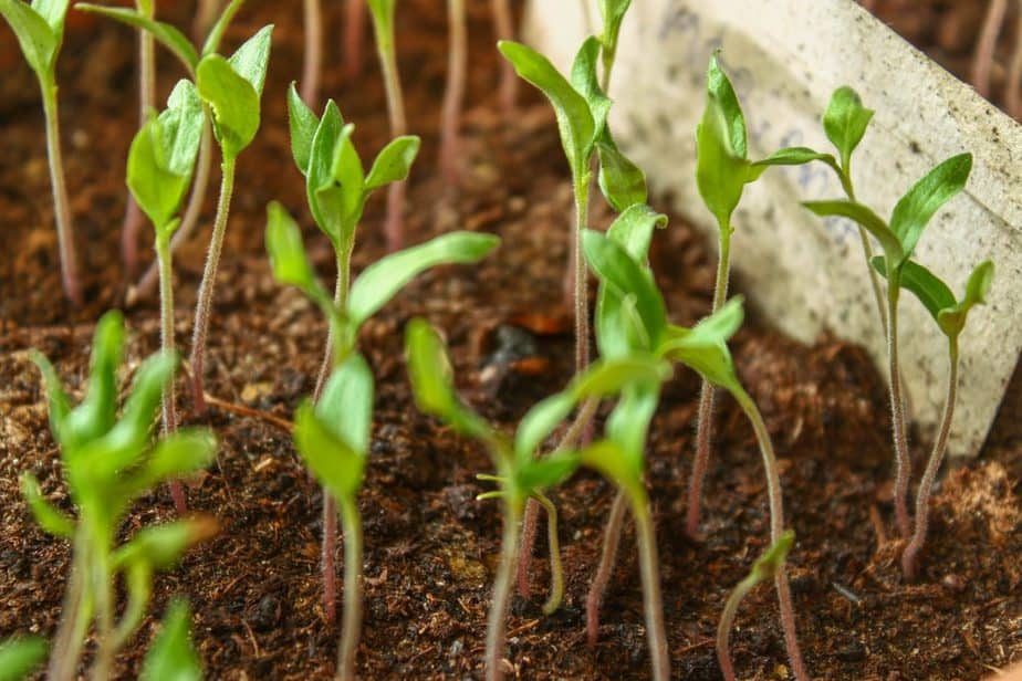 seedlings sprouting from soil