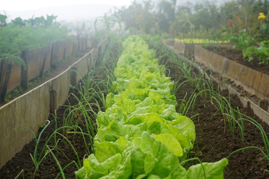 Lettuce and onions growing together