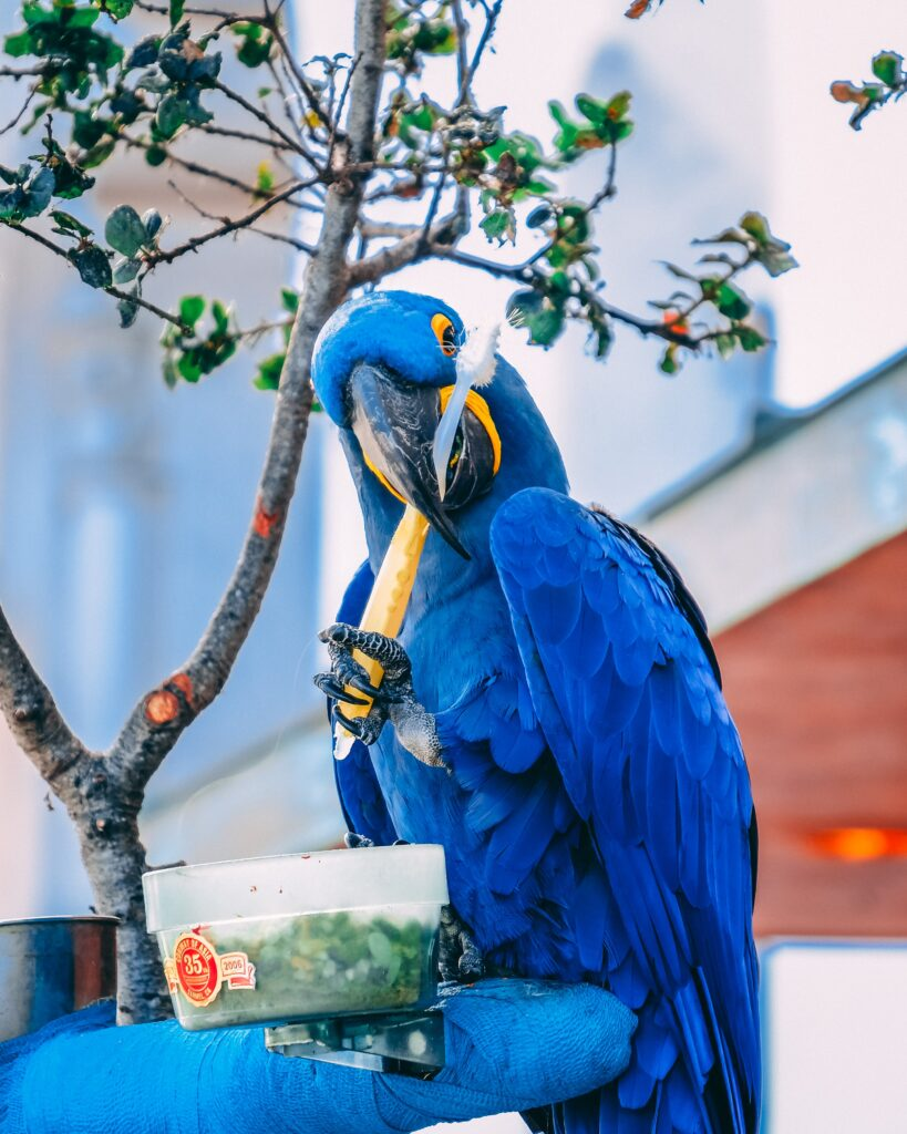 Blue parrot sitting on a blue pillow holding a toothbrush sitting in front of a clear bowl with green bird food in it.